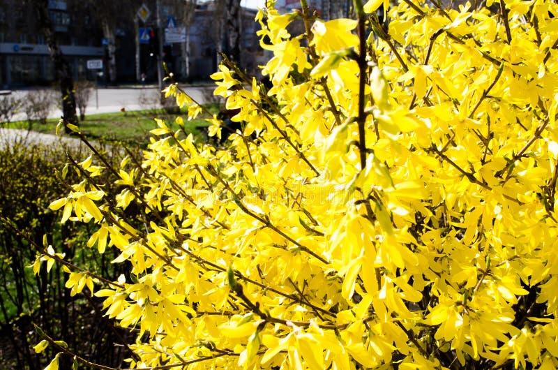 Forsythiastadsflora cityscape blomma forsythia Fj?dra sammans?ttning Bush busken blommar yellow V?r Ris med blomman arkivfoton
