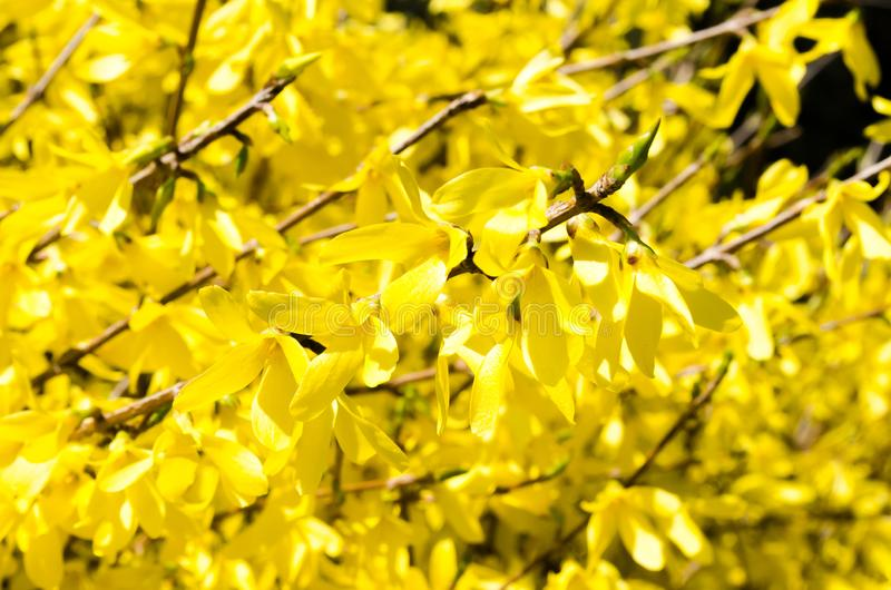 Forsythiastadsflora cityscape blomma forsythia Fj?dra sammans?ttning Bush busken blommar yellow V?r Ris med blomman royaltyfri bild