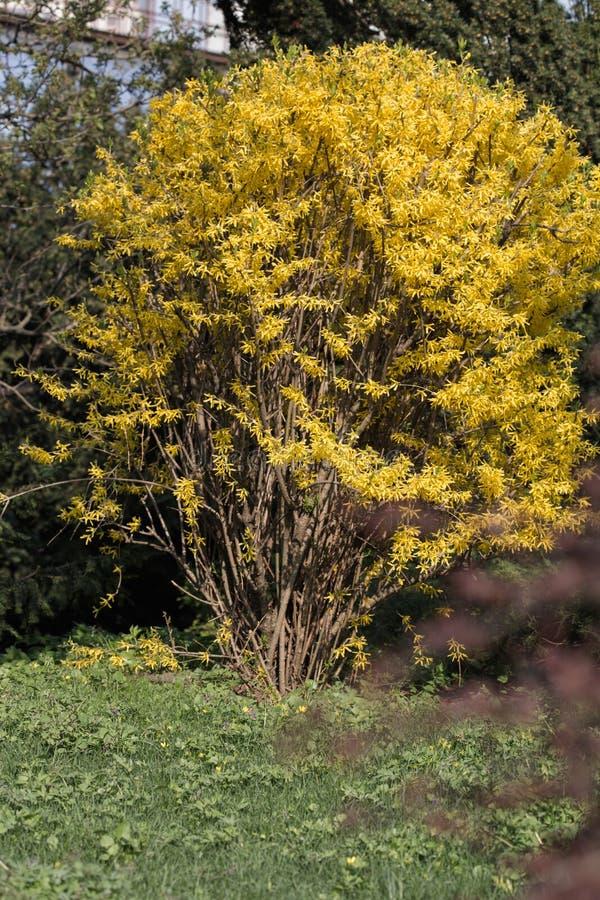 Forsythie bepflanzt im Frühjahr mit Büschen, der goldene Strauch von Forsythie wächst groß im Stadtpark lizenzfreies stockfoto