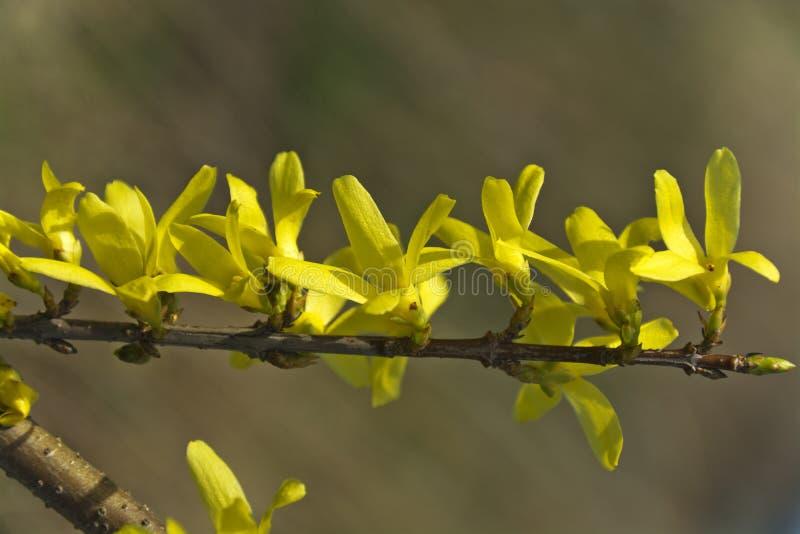Forsythie, ein schöner Frühlingsbusch mit gelben Blumen stockfotografie