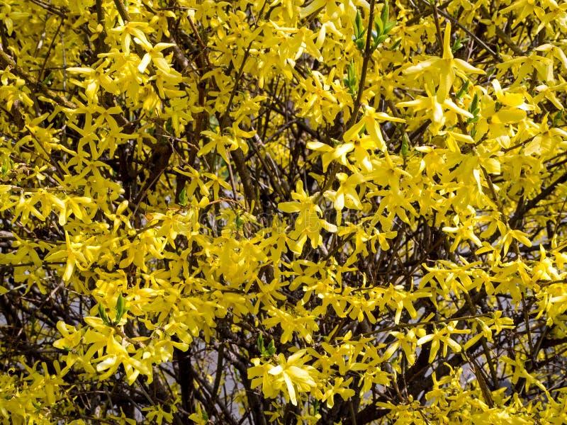 Forsythie ist eine Klasse von Bl?tenpflanzen im ?lbaumgew?chse Oleaceae lizenzfreie stockfotos