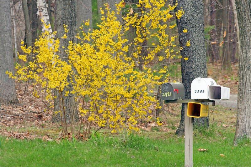 Forsythie und Briefkasten stockfoto