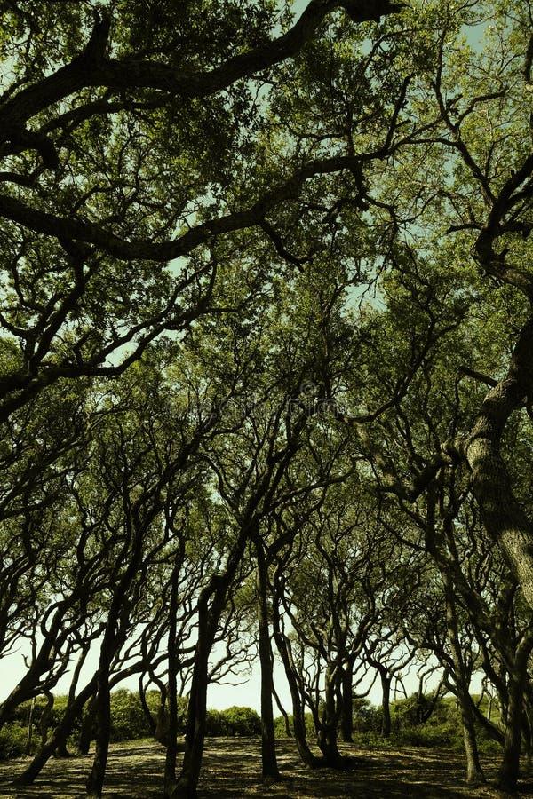 Fort Fisher, träd för NC Live Oak fotografering för bildbyråer