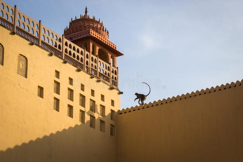 Monkey jumping on a tower of the fort during sunset in Jaipur, India royalty free stock photography