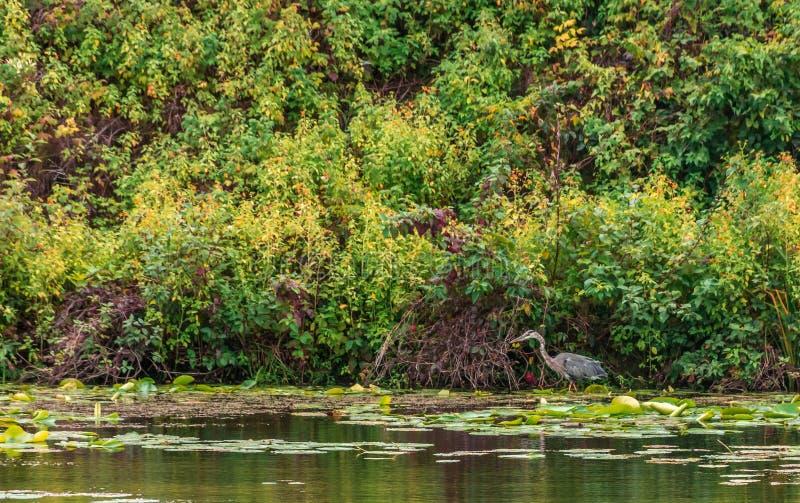 Fort Lennox Great Blue Heron royaltyfri bild