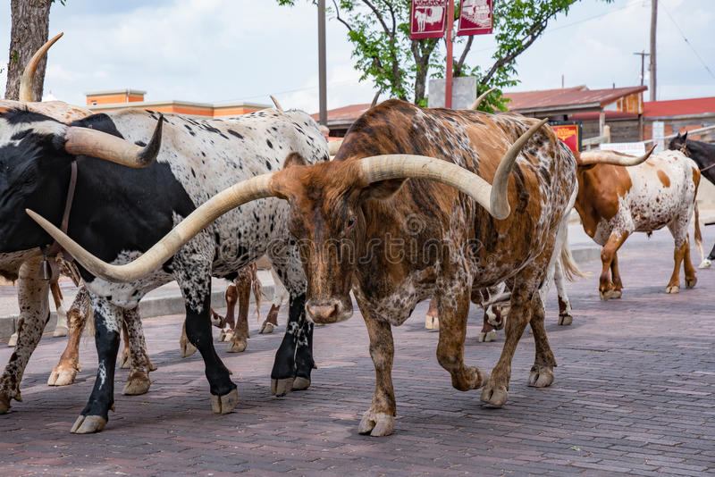 Fort Worth Texas Longhorn Cattle Drive imagens de stock royalty free