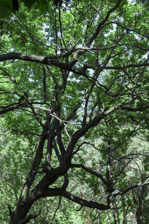 Forte albero contro il cielo fotografie stock