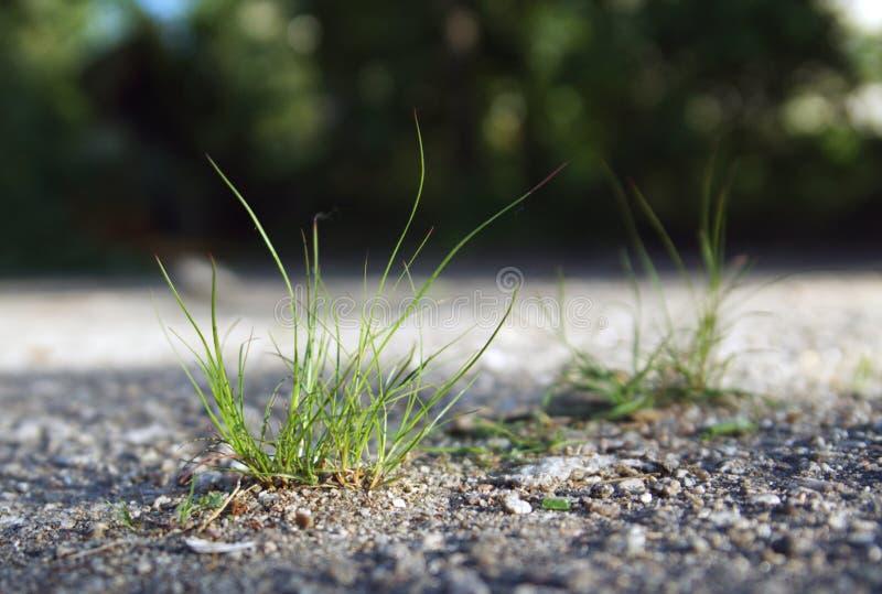 Forte erba che cresce dall'asfalto fotografia stock