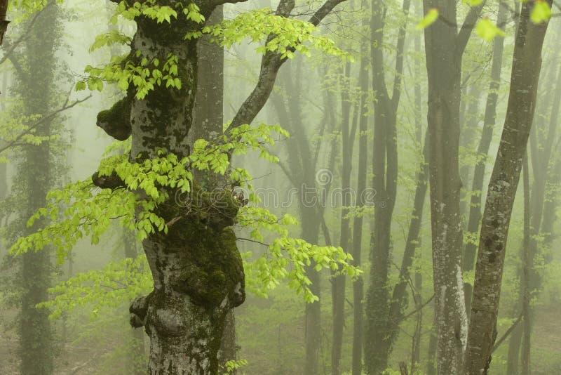 Forte nebbia nella foresta del faggio fotografie stock