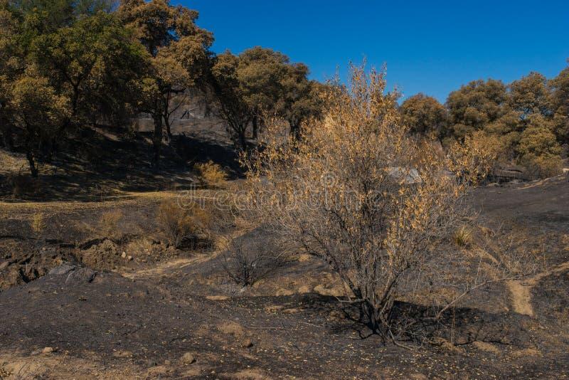 Fortleva trädet efter brand fotografering för bildbyråer