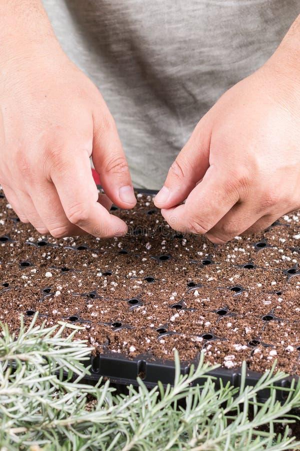 Fortplanta små rosmarinväxter med tillväxthormonet i behållaren fotografering för bildbyråer
