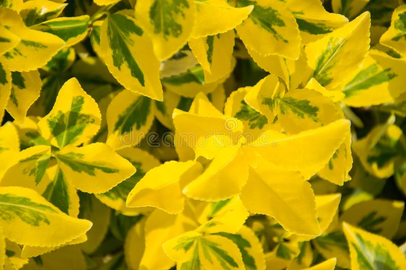 Fortune`s spindle Euonymus fortunei in garden. Detail of emerald golden leaves of wintercreeper. Close up of yellow and green l royalty free stock image