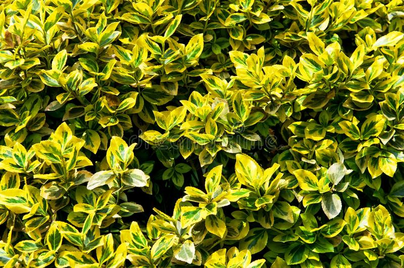 Fortune`s spindle. Euonymus fortunei. Yellow and green leaves royalty free stock photography