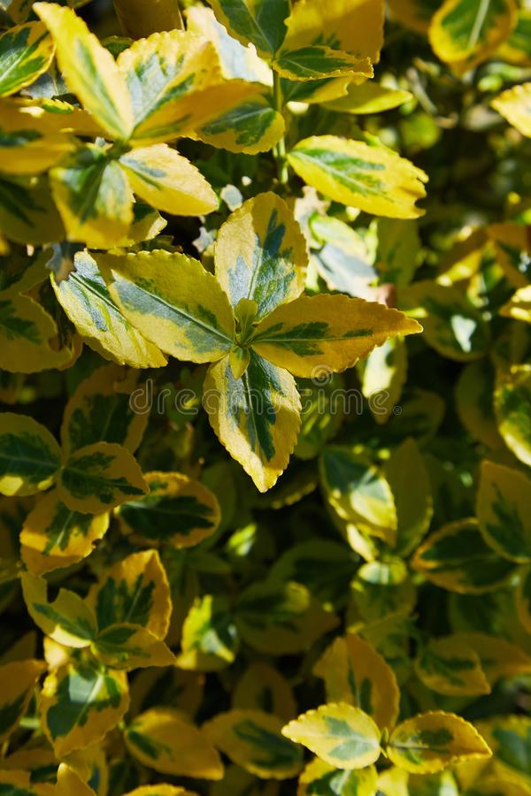 Fortune`s spindle, winter creeper, wintercreeper - Euonymus fortunei `Emerald`n`Gold`. stock image