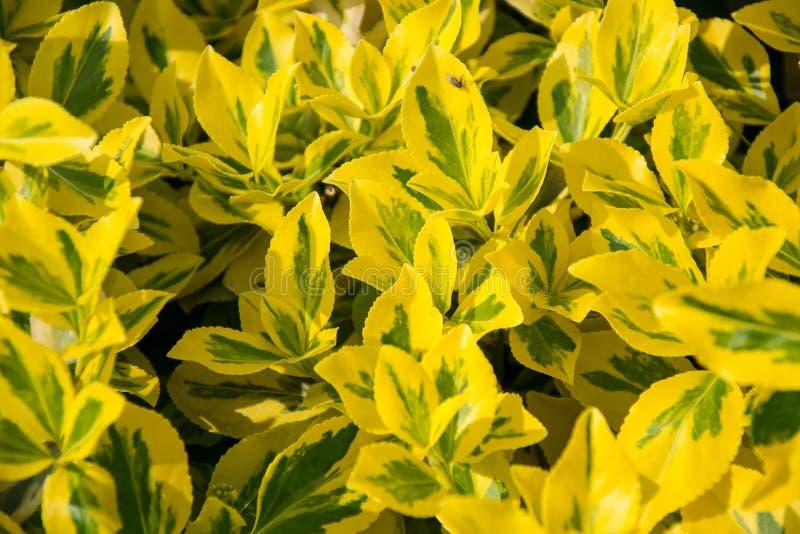 Fortunei d'Euonymus d'axe du ` s de fortune dans le jardin Détail des feuilles d'or vertes du wintercreeper Fermez-vous de l jaun photos stock