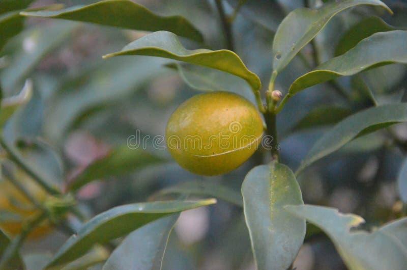 Fortunella Margarita Lour Swingle Kumquat in de winterspruit royalty-vrije stock foto's