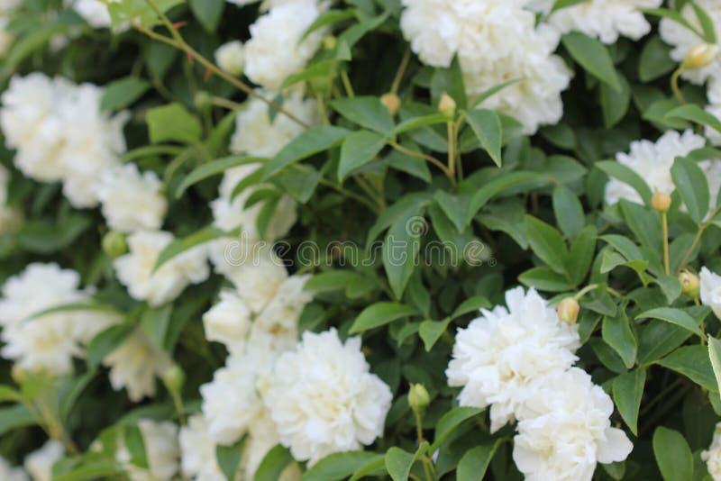 Fortuniana di Rosa x, Fortuniana Rosa, Banksia Rosa ibrido fotografia stock