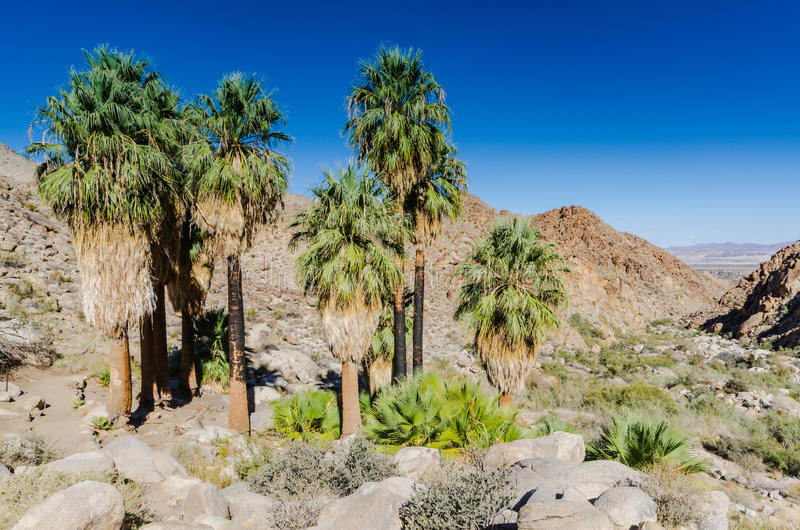Fortynine Palms Oasis - Joshua Tree National Park - California. Bearded palm trees and mountain views on trail in Joshua Tree National Park royalty free stock image