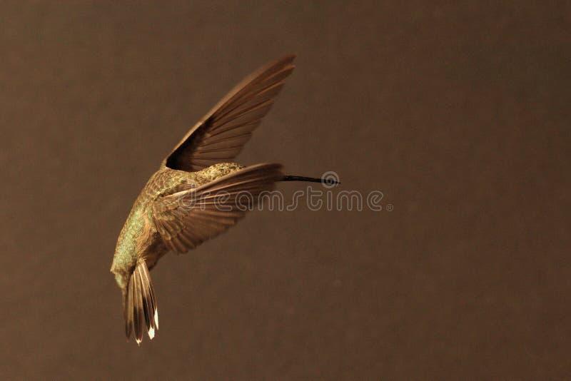 Forza delicata di posa magnifica femminile di balletto di 440 colibrì fotografie stock