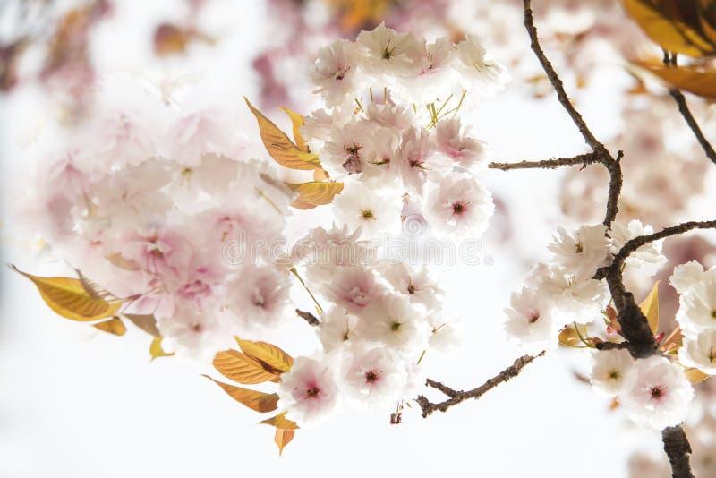 Fosa y flores de cerezo de Kyoto imagenes de archivo