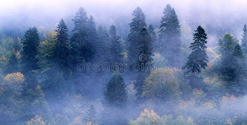 Foschia della foresta dell'abete immagini stock libere da diritti