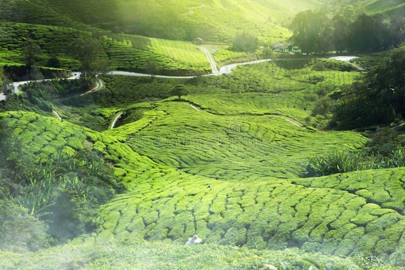 Foschia della piantagione di tè immagini stock libere da diritti