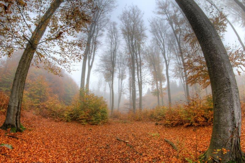 Foschia nebbiosa in una foresta in autunno - lente del faggio di occhio del pesce immagini stock libere da diritti