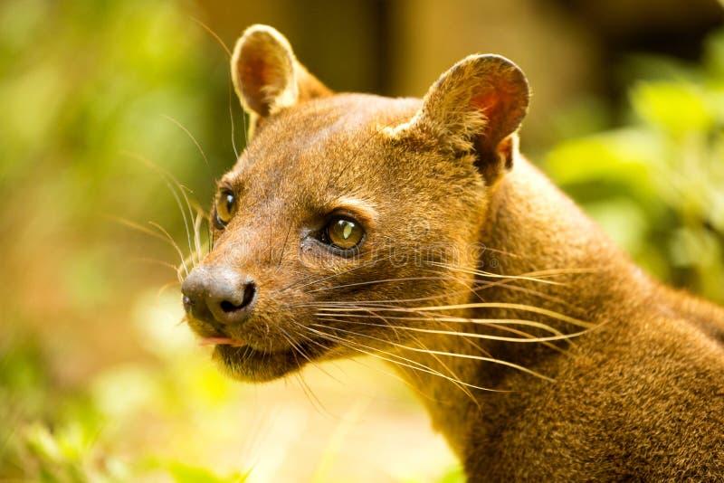 Fossa, Cryptoprocta ferox jest Madagascar ` s wielkim drapieżnikiem, Madagascar obrazy stock