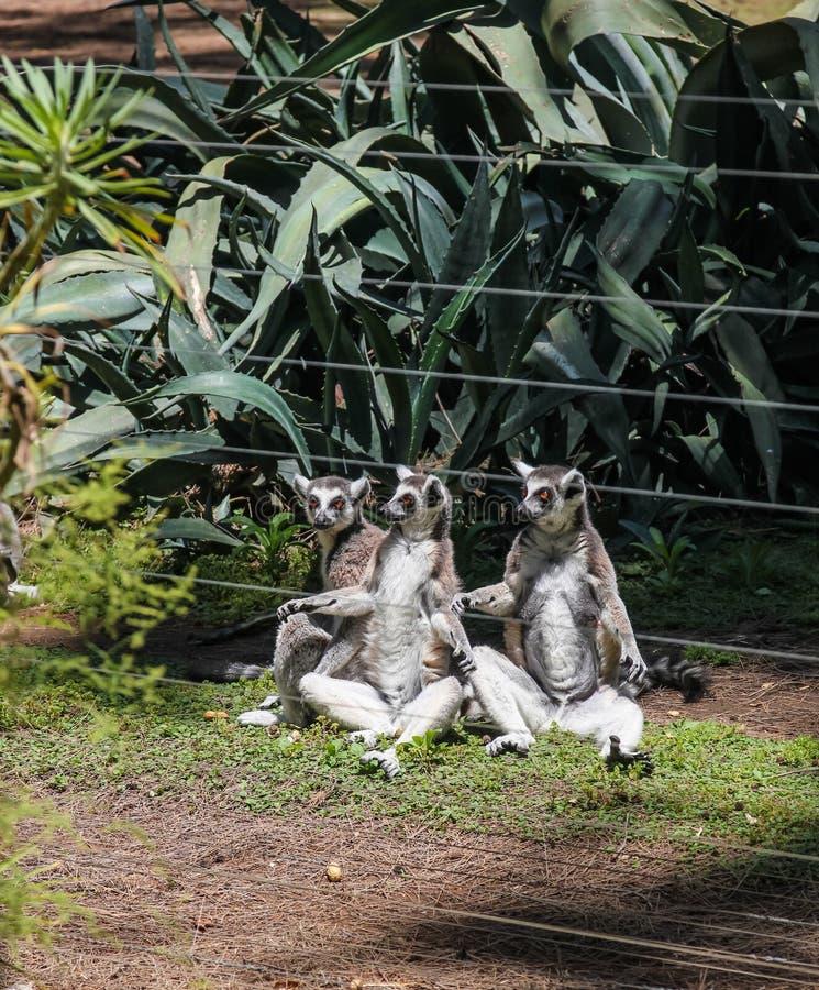 Fossa jest a jak, mięsożerny ssak endemiczny Madagascar obrazy royalty free