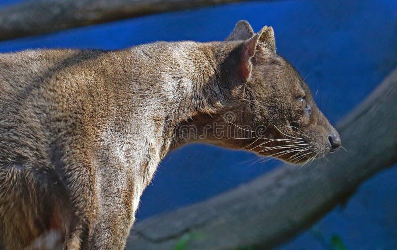 Fossa. Madagascar Carnivorous Predator Looking Intensely Right stock photo