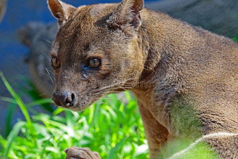Fossa. Madagascar Carnivorous Predator Looking Left royalty free stock images