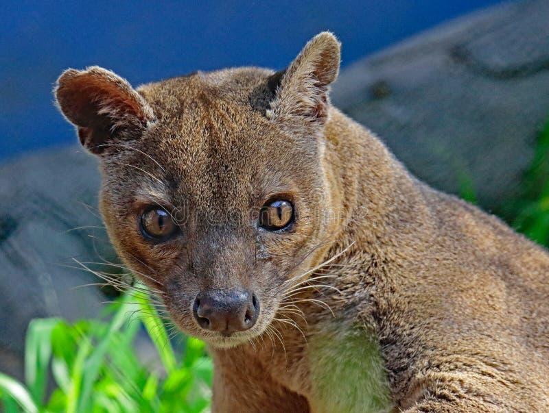 Fossa. Madagascar Carnivorous Predator Looking At Viewer royalty free stock photo