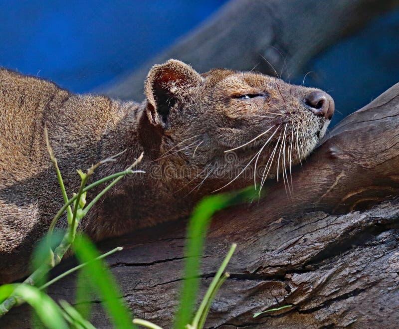 Fossa. Madagascar Carnivorous Predator Napping On Branch royalty free stock photos