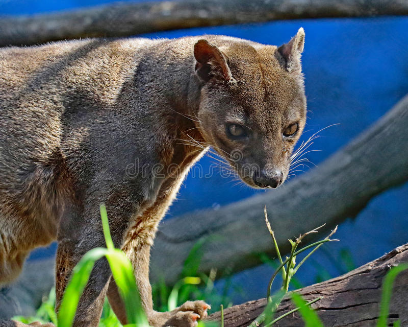 Fossa. Madagascar Carnivorous Predator Perched On Tree Limb royalty free stock images