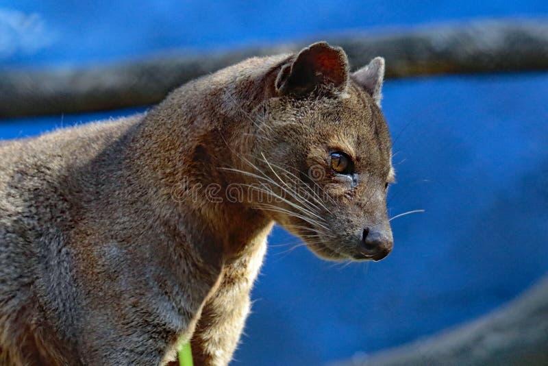 Fossa. Madagascar Carnivorous Predator Profile With Blue Background stock images