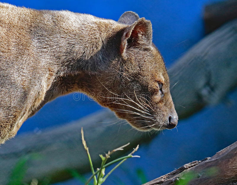 Fossa. Madagascar Carnivorous Predator Profile With Blue Background stock image