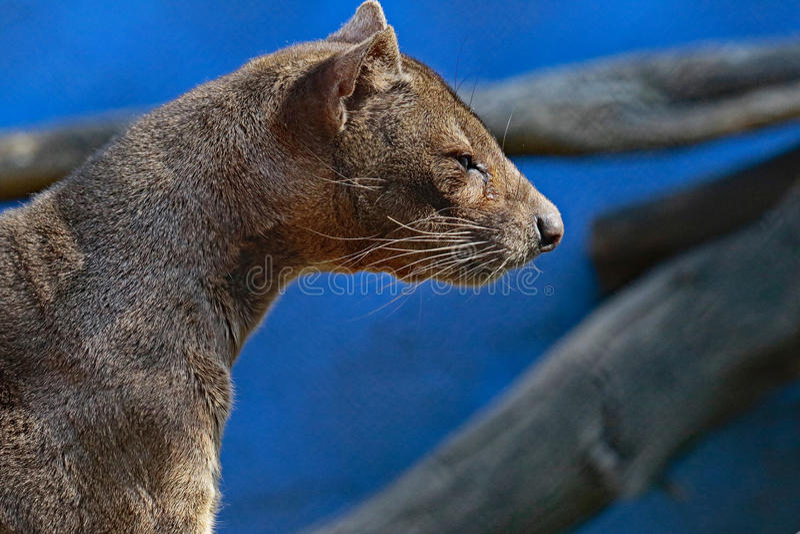 Fossa. Madagascar Carnivorous Predator Profile View stock photography