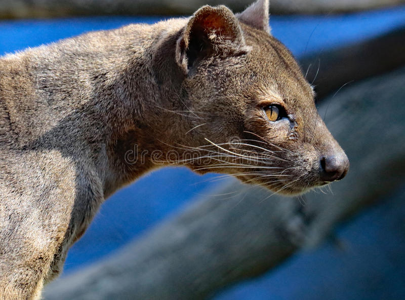 Fossa. Madagascar Carnivorous Predator Profile View royalty free stock photos