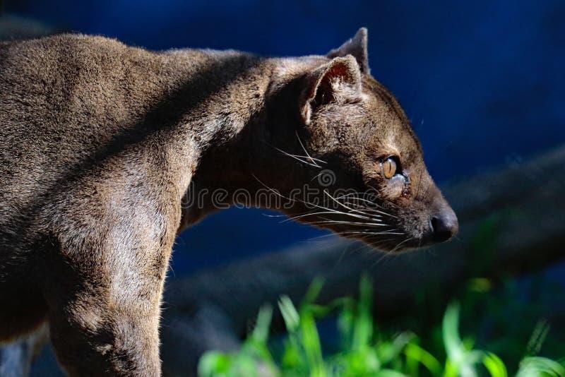 Fossa. Madagascar Carnivorous Predator Profile View stock image