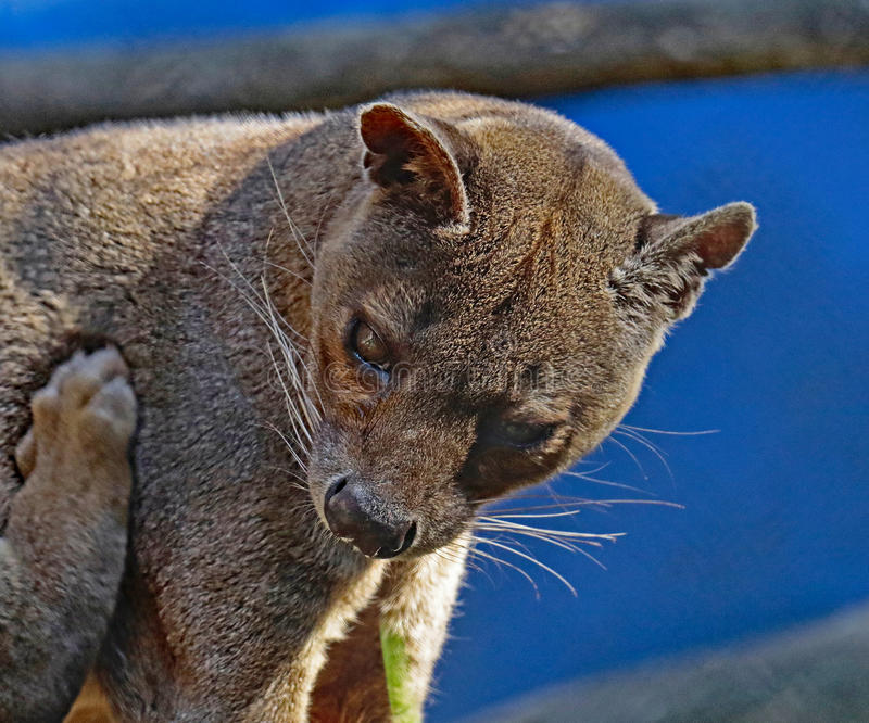 Fossa. Madagascar Carnivorous Predator Scratching Side royalty free stock photo