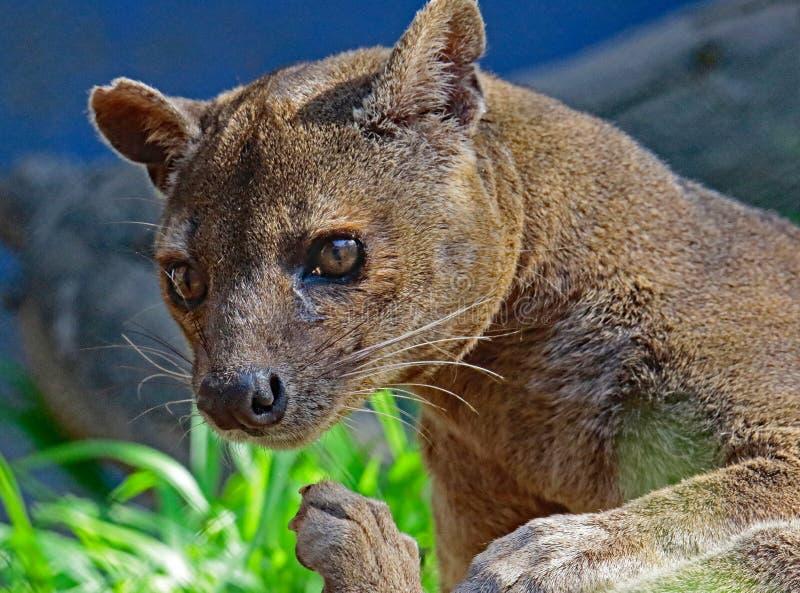 Fossa. Madagascar Carnivorous Predator Showing Feet royalty free stock photos