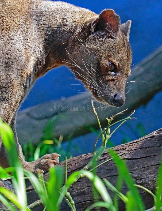 Fossa. Madagascar Carnivorous Predator Standing On Log royalty free stock image