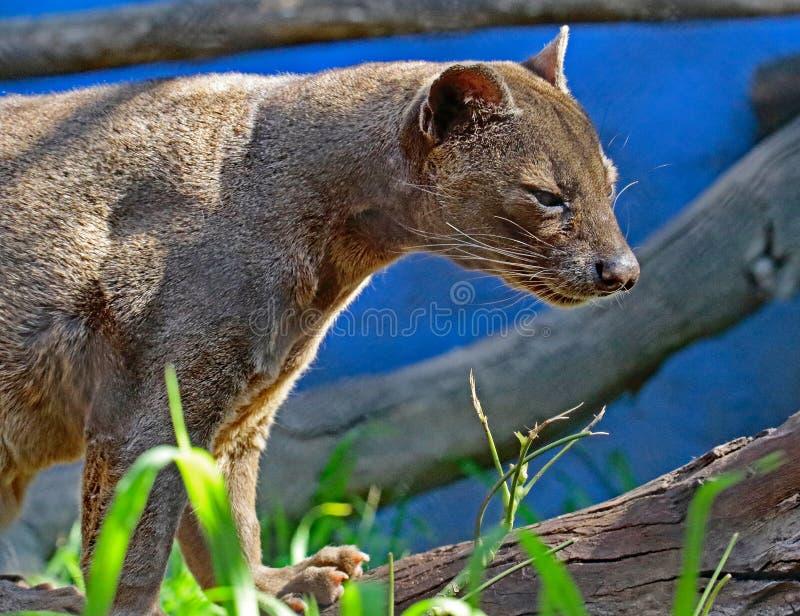 Fossa. Madagascar Carnivorous Predator Standing On Log royalty free stock photo