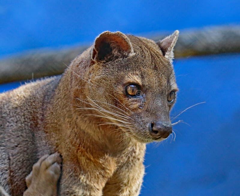 Fossa. Madagascar Predator Looking Downward Right royalty free stock photography