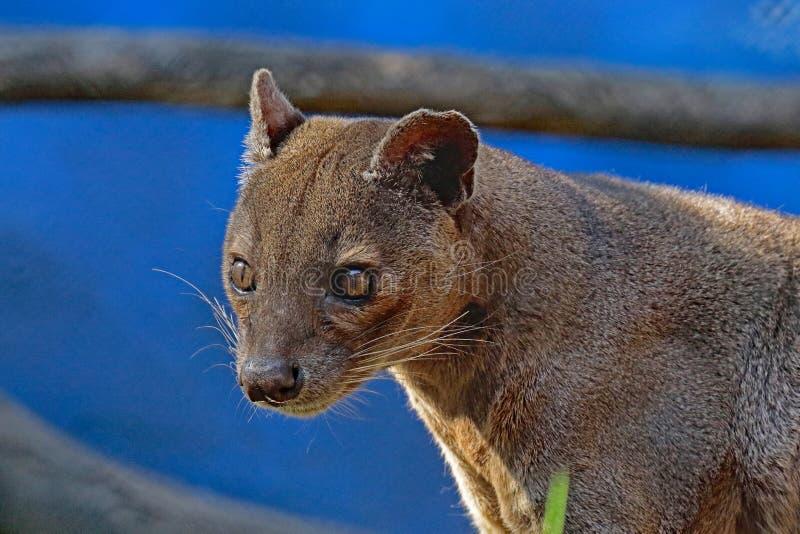 Fossa. Madagascar Predator Looking Intently Left stock image