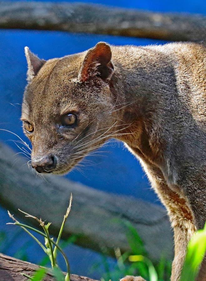 Fossa. Madagascar Predator Looking Intently Left stock photo