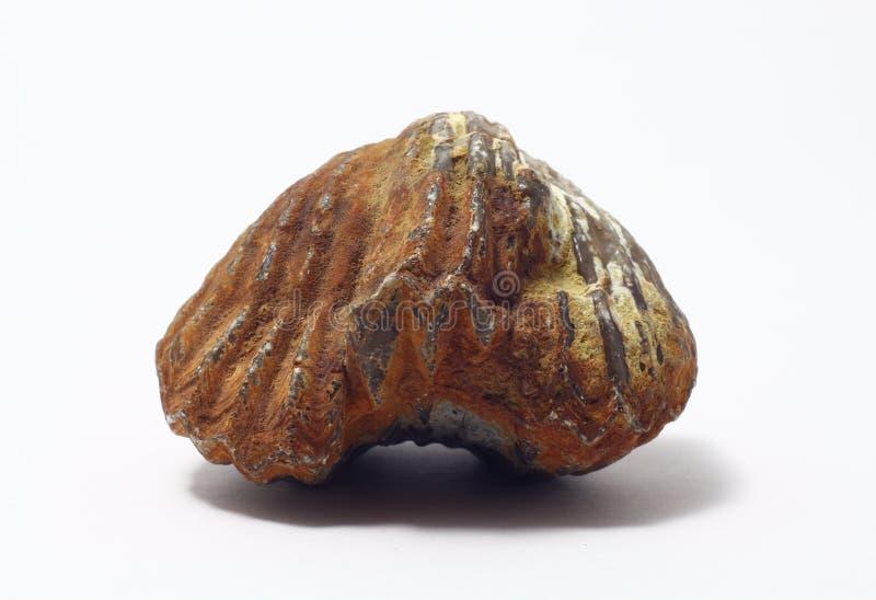 Fossiel brachiopod stock afbeelding