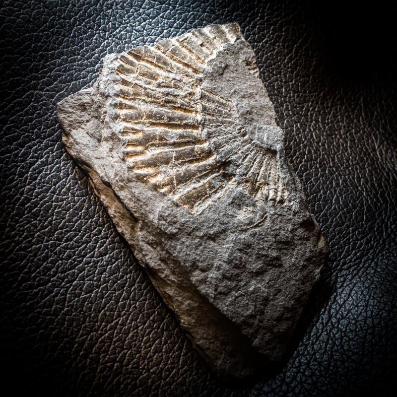 Fossiel in Schist Metamorfoserots stock foto
