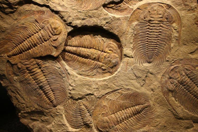 Fossiel trilobite in het sediment wordt gestempeld dat royalty-vrije stock afbeeldingen