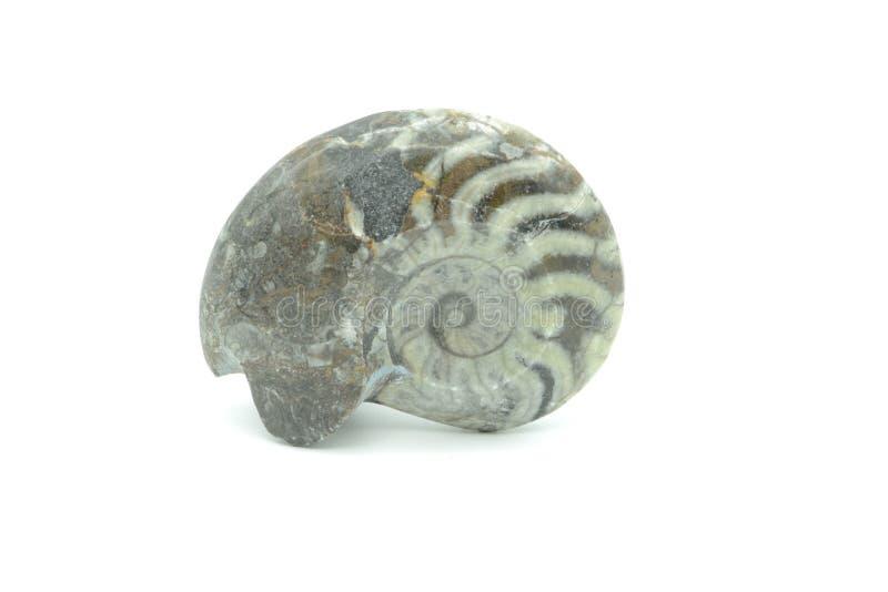 Fossiel van Ammoniet nautilusslak op wit geïsoleerde achtergrond royalty-vrije stock foto's